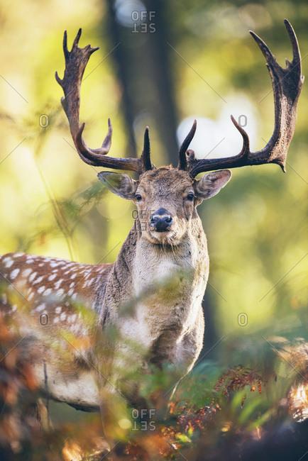 Fallow deer buck (dama dama) between ferns in fall forest