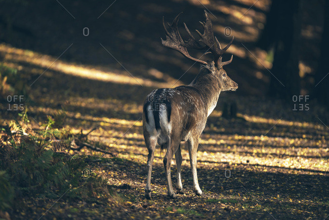 Fallow deer buck (dama dama) in dappled sunlight of autumn forest