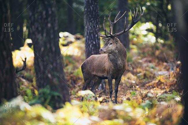 Red deer stag (cervus elaphus) between ferns in fall forest