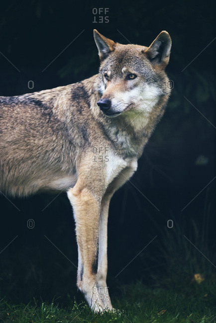 Eurasian wolf (Canis lupus) in dark forest