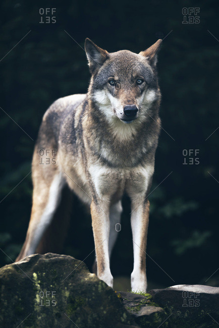Timber wolf (Canis lupus) standing on rock in dark forest
