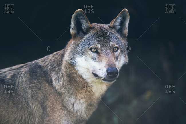 Portrait of gray wolf (Canis lupus) in dark forest