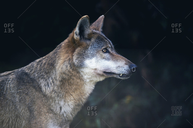 Side view portrait of gray wolf (Canis lupus) in dark forest
