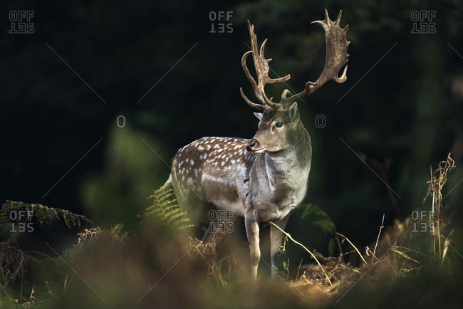 Fallow deer buck (dama dama) between autumn ferns