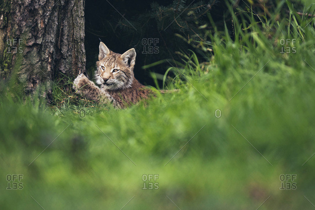Young lynx (lynx lynx) scratching nails on tree trunk
