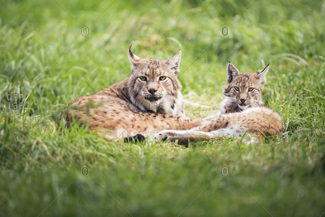 Mother lynx (lynx lynx) with young lying in grass
