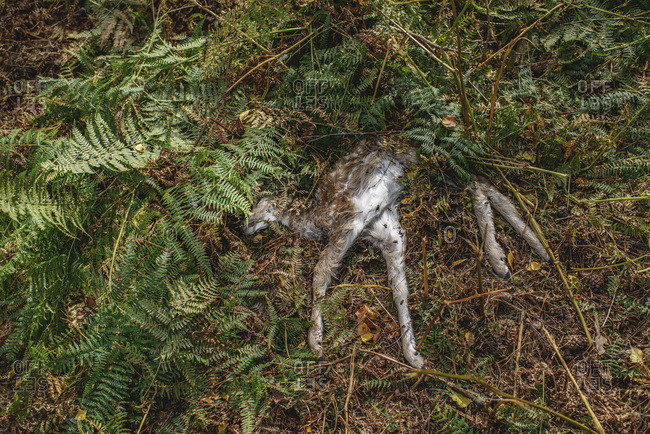Dead young deer lying in ferns of forest ground