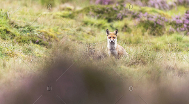 Red fox (vulpes vulpes) in moorland with blooming heather