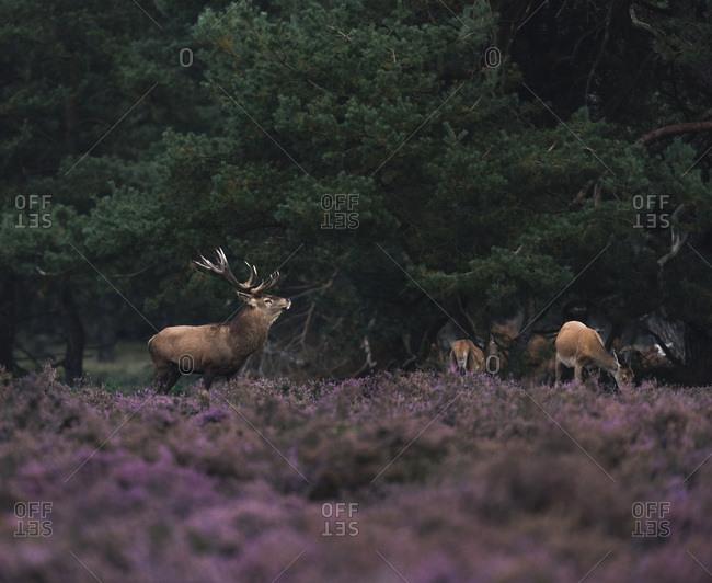 Red deer stag in rutting season in blooming moorland