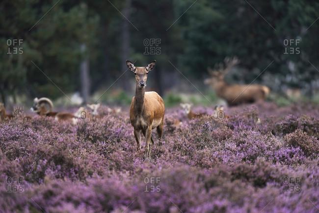 Red deer doe (cervus elaphus) in blooming moorland