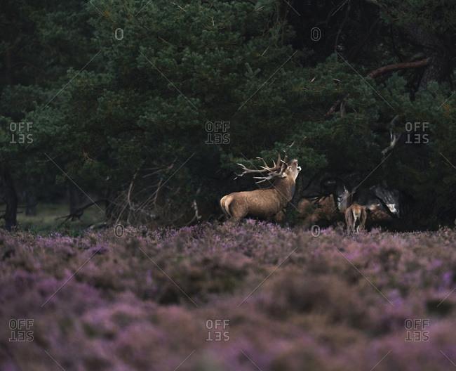 Bellowing red deer stag in rutting season in blooming moorland