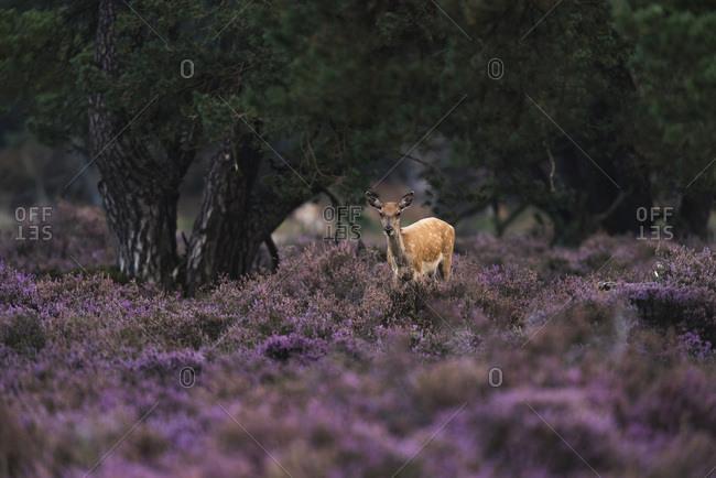 Red deer hind in blooming heather