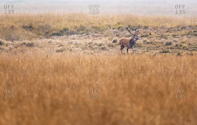 Red deer stag (cervus elaphus) in high yellow grass