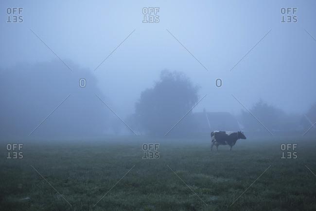 Cow in misty rural landscape at dawn