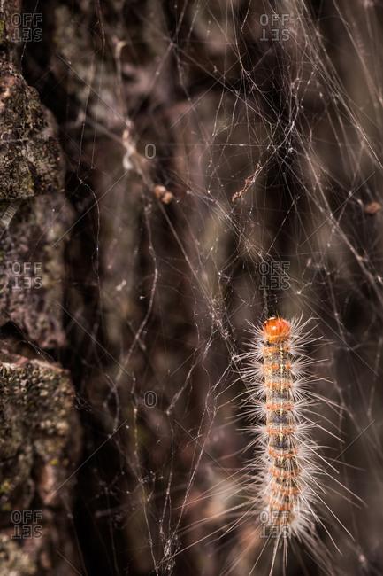 Webworm climbing up tree trunk