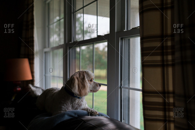Small dog sitting on back of sofa looking out window