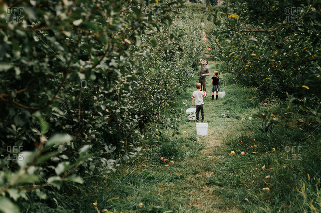 Little girl picks apples in an orchard