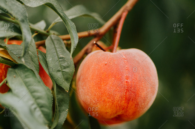 Peach growing on a tree