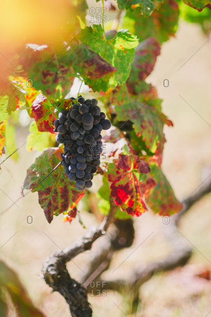 Grapes on a vine in Mesao Frio, Portugal