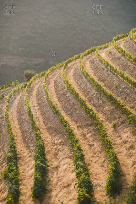 Hillside vineyard in Mesao Frio, Portugal