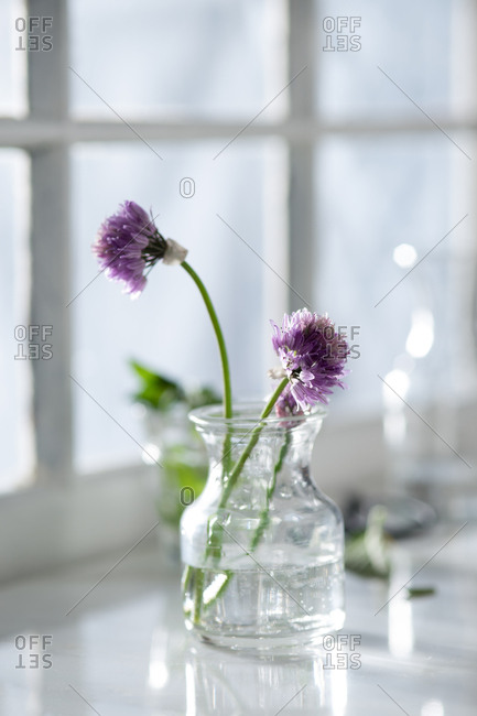 Fresh blooming chives in a sunny window sill