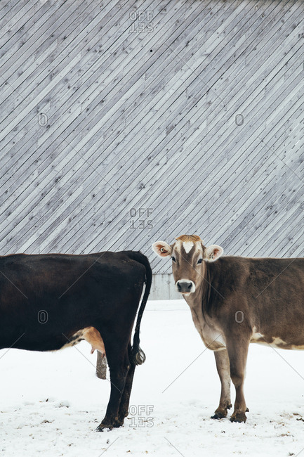 Cow outside in winter looking at the camera