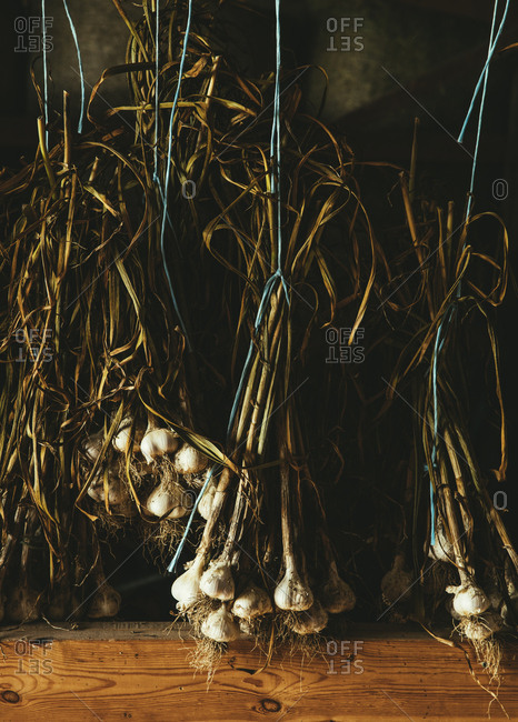 Bunches of fresh garlic hanging from string