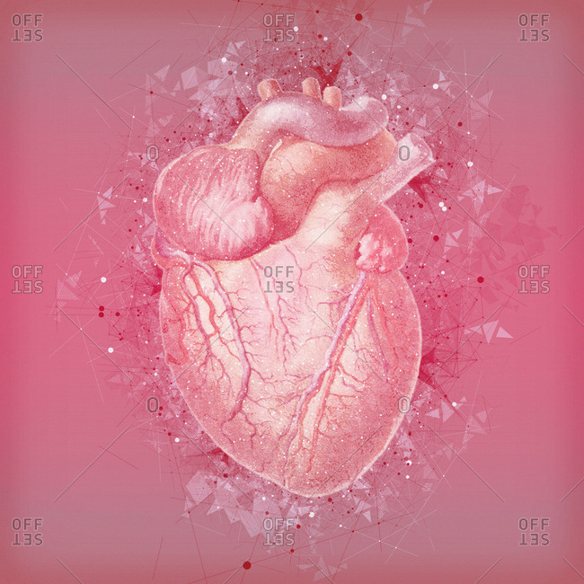 Human heart, illustration