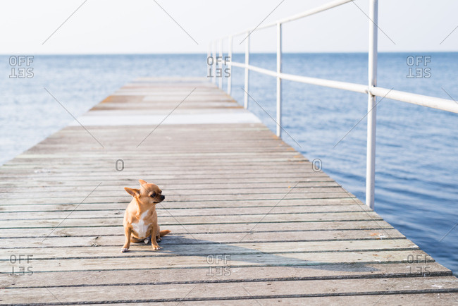 Chihuahua sitting on a boardwalk looking at ocean