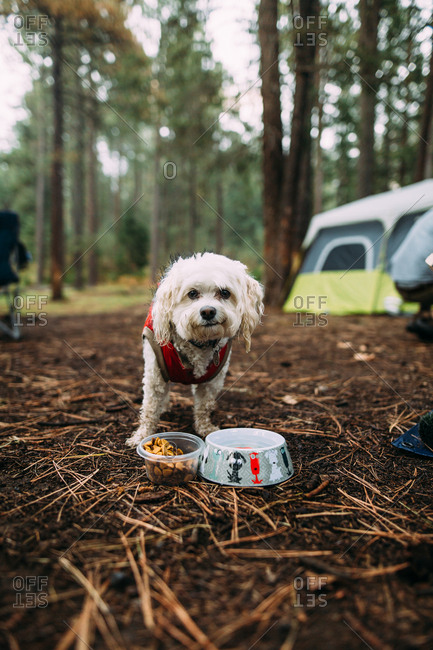 Little white dog standing in front of food and water bowls at campsite