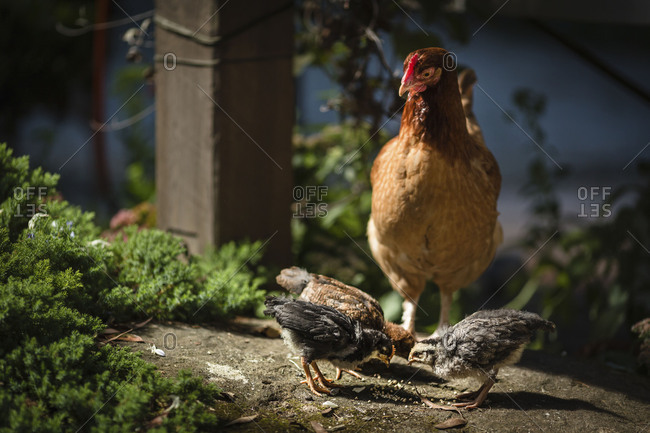 Mother hen watching over her chicks as they feed