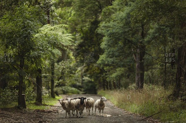 Stray sheep blocking country road