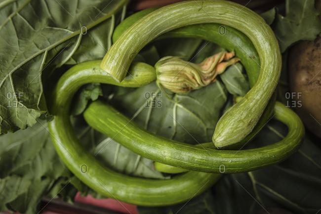 Zucchini squash fresh harvest