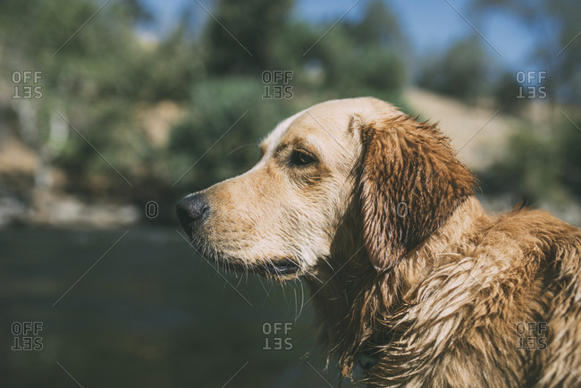 Close-up of wet dog at lakeshore during sunny day