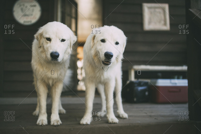 Dogs standing on porch in front of house