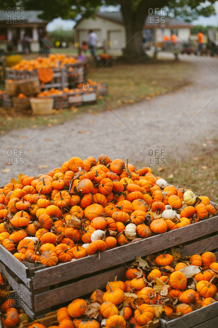 Crates filled with tiny pumpkins