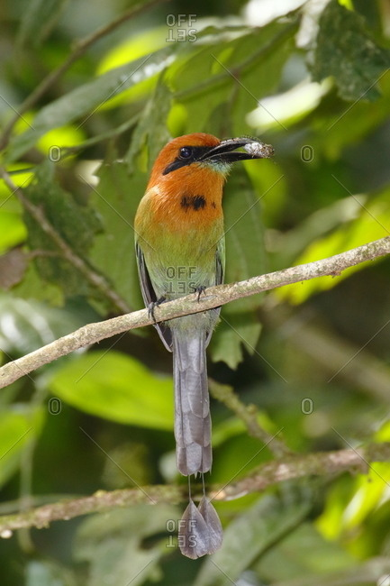 A broad-billed motmot, Electron platyrhynchum, with a cicada in its mouth.