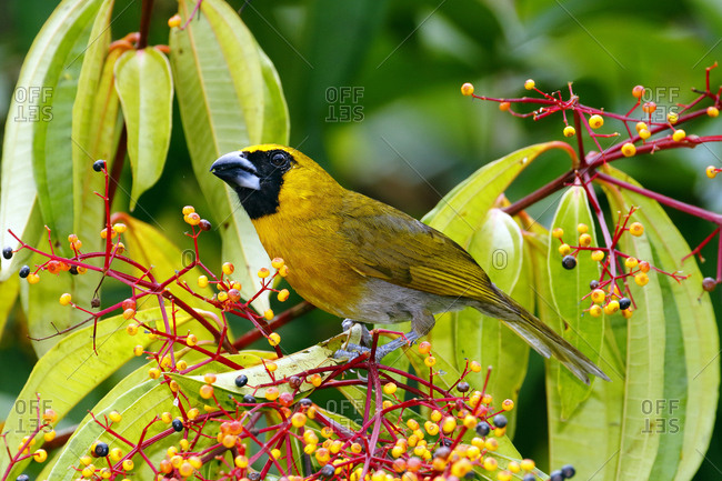 A black-faced grosbeak, Caryothraustes poliogaster, foraging on melostome fruit.