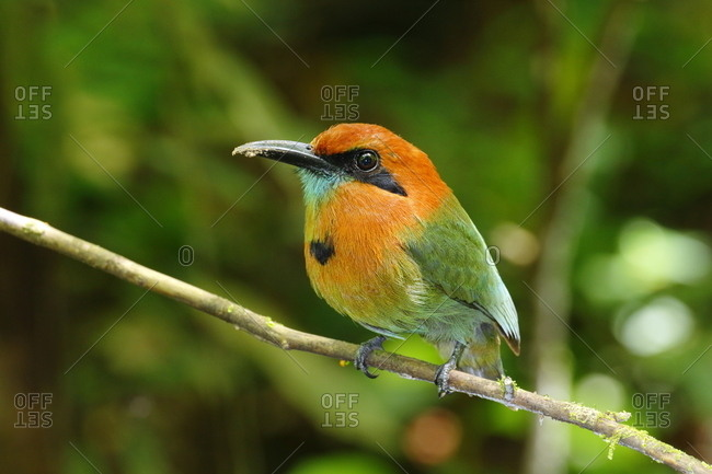 A broad-billed motmot, Electron platyrhynchum, with mud in its mouth.
