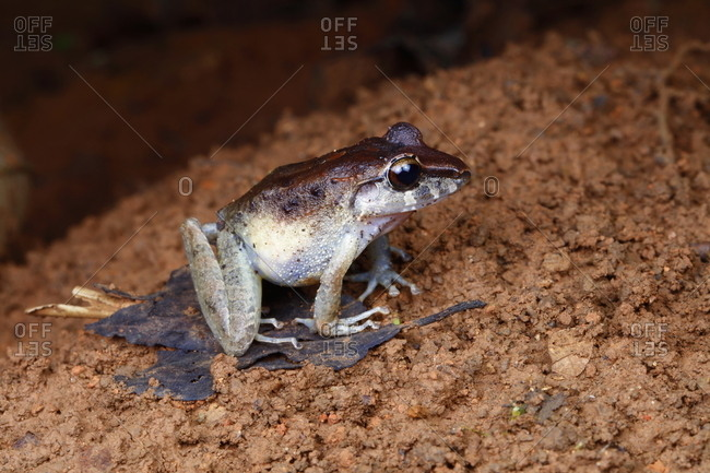 A Craugastor fitzingeri, or Common Rain Frog, hopping on the forest floor.