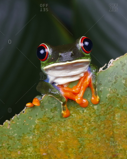 A red-eyed tree frog, These Agalychnis callidryas.