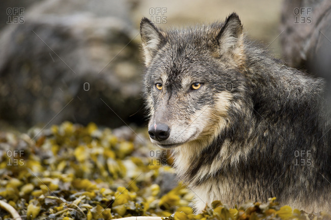 A coastal wolf, Canis lupus, lying in a bed of seaweed.