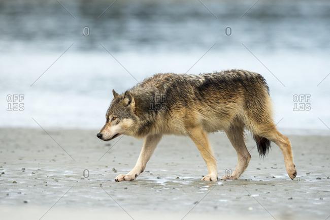 A coastal wolf, Canis lupus, walks along the shoreline.