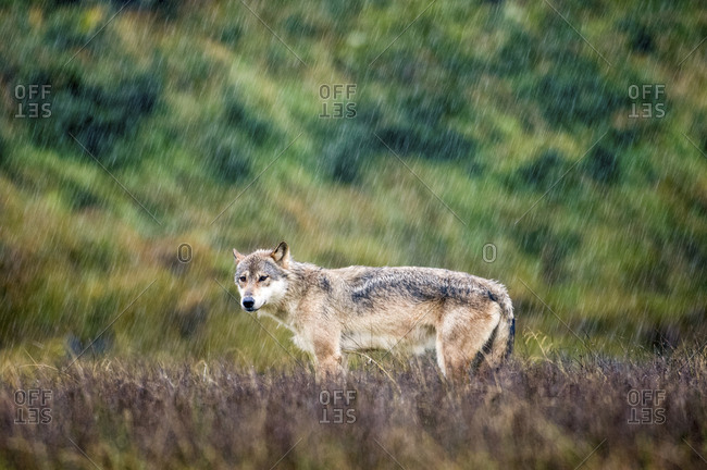 Coastal wolf, Canis lupus, standing in the rain on a salmon river estuary.