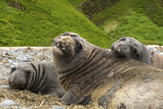 Northern elephant seals, Mirounga angustirostris, rest on a rocky shore.