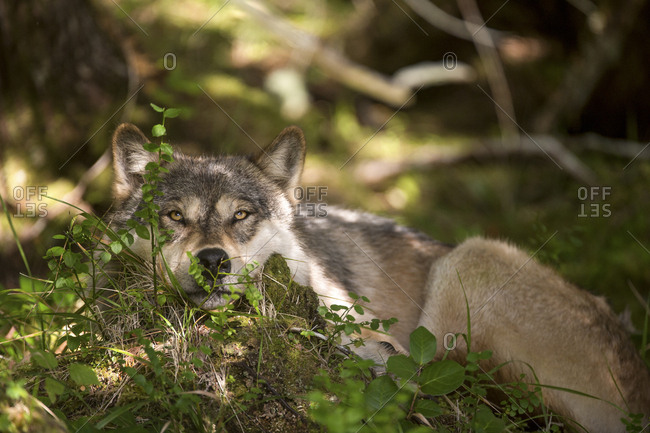 A coastal wolf, Canis lupus, rests in the shade of old growth temperate rainforest.