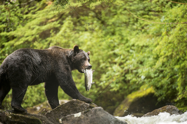 A male grizzly bear, Ursus arctos, with a coho salmon, Oncorhyuncus kisutch, in its mouth.