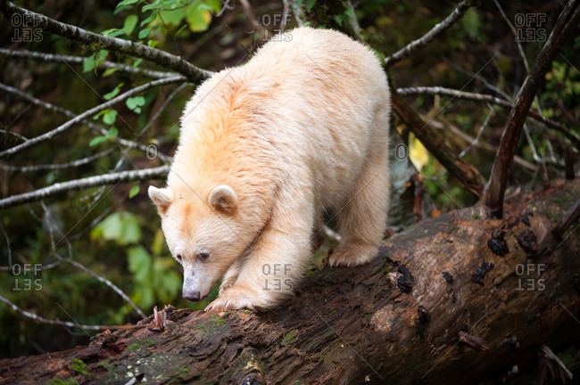 A spirit bear, Ursus americanus kermodei, walks along a fallen tree by a coastal river.