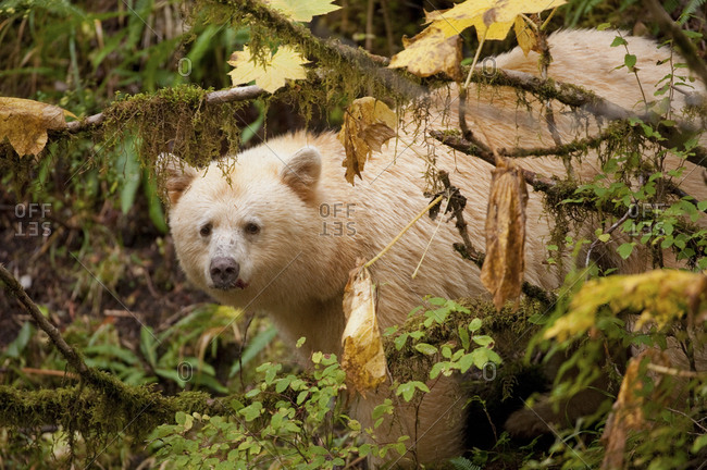 A spirit or kermode bear, Ursus americanus kermodei, in temperate coastal rainforest.