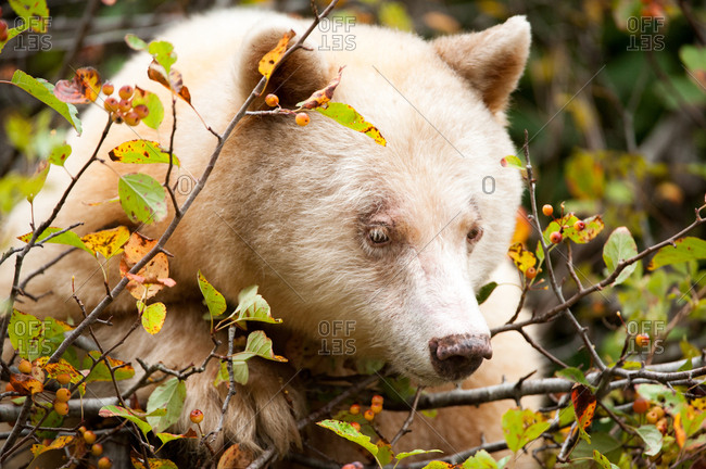 A spirit bear, Ursus americanus kermodei, grazes on ripe crabapples in the fall.